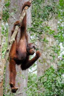 Orangutan w Semenggoh, Borneo