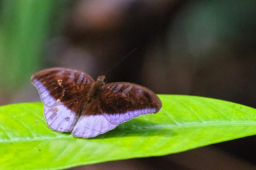 Motyl w parku Bako, Borneo