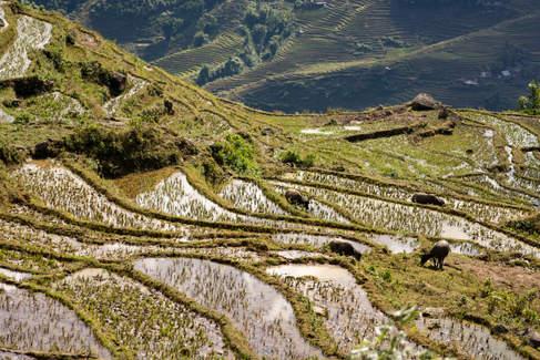Tarasy ryżowe w okolicy Sapa