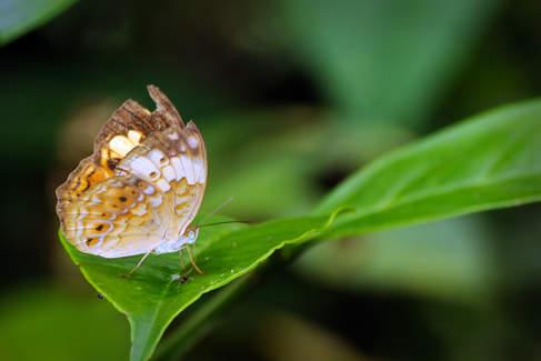 Motyl w parku Gunung Mulu, Borneo