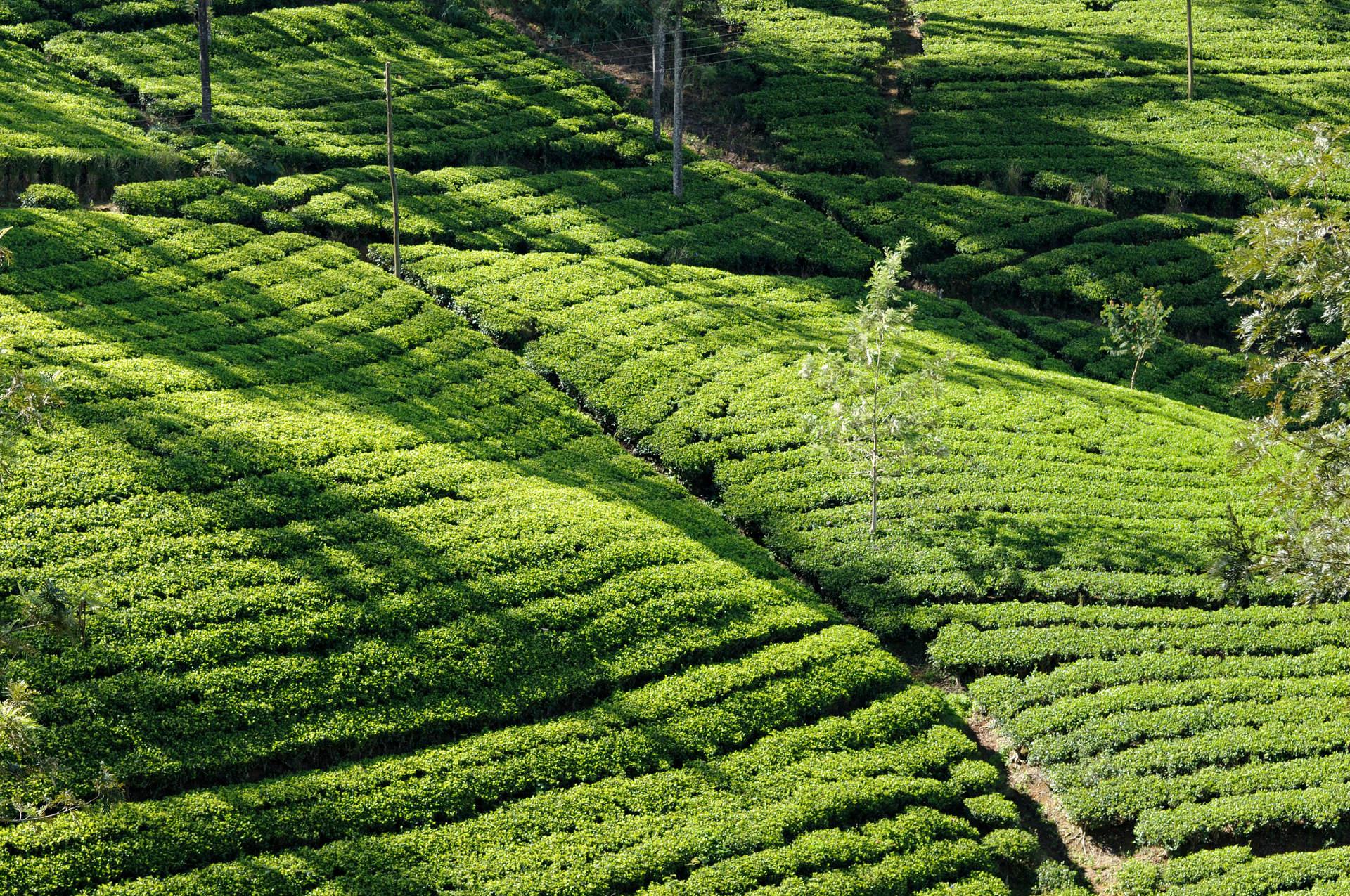 Plantacja Herbaty, Sri Lanka