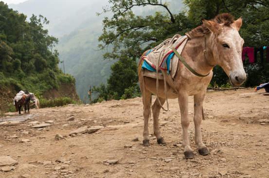 Osiołek w himalajach, Nepal