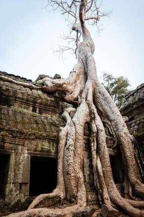 Drzewo porastające Ta Prohm