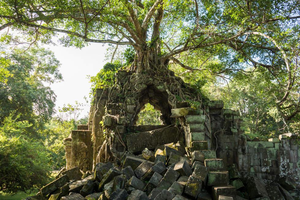 Drzewo na ruinach Beng Mealea