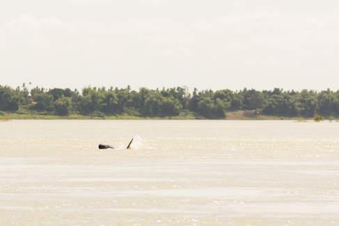 Delfiny krótkogłowe w Mekongu, Kratie