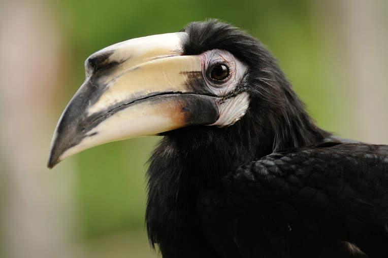 Ptak dzioborożec, Sabah, Borneo