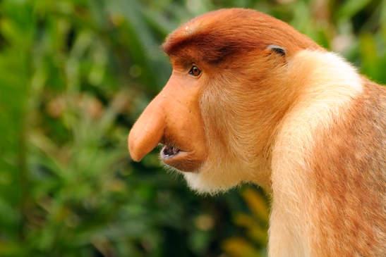 Proboscis Monkey, Labuk Bay, Borneo