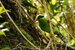 Dziki Ptak na zboczach góry Kinabalu