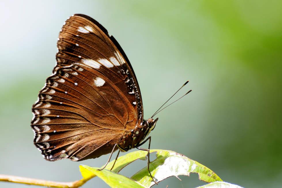 Motyl w parku Bako, Sarawak, Borneo