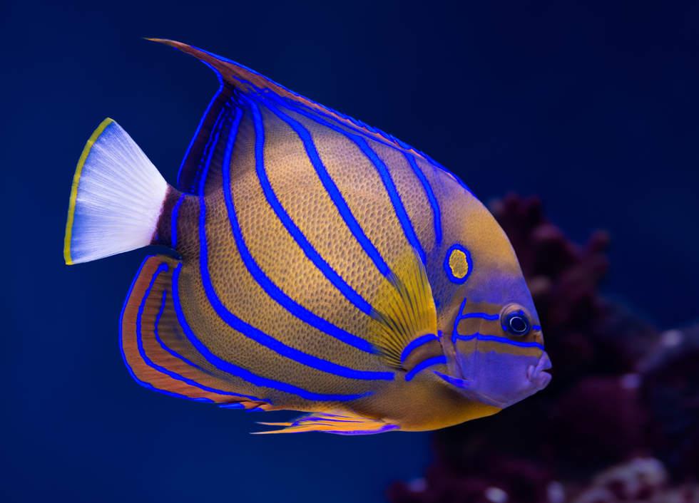 piękna ryba na rafie koralowej, Sibuan