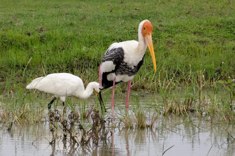Ptaki w parku Yala, Sri Lanka