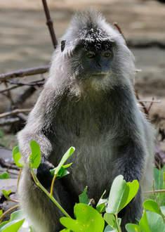 Małpa w Parku Bako, Kuching, Borneo, Malezja