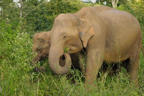 Słonie w Parku Yala, Sri Lanka