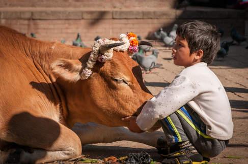 Święta Krowa na Placu Durbar