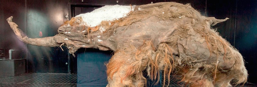 GENUINE Woolly Mammoth Hair, LARGE PORTION!
