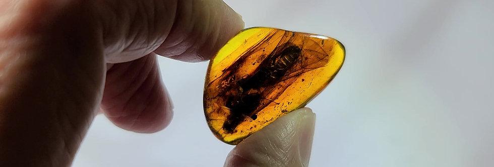 RARE 2 HUGE EXTINCT Mastotermes Termites in Dominican amber.