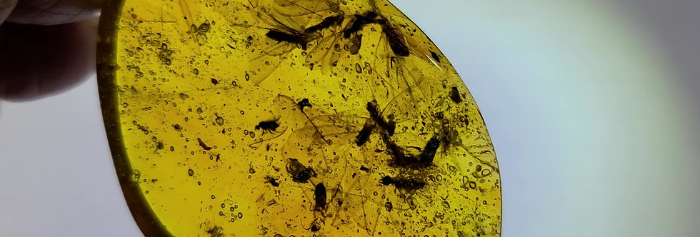 MASSIVE Winged Termite SWARM in Dominican amber.