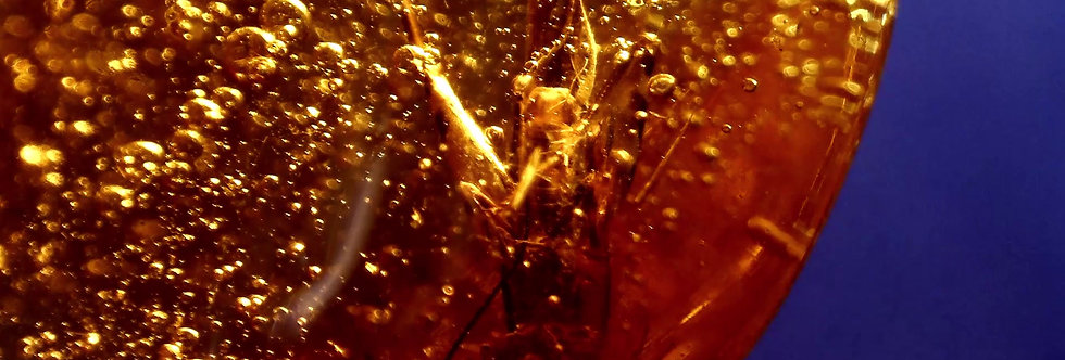 RARE 12mm Cricket ENHYDRO in Dominican amber.