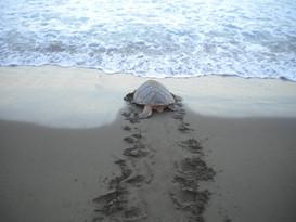 turtle tracks1.jpg