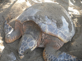 big turtle.jpg