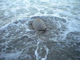 turtle sea5.jpg