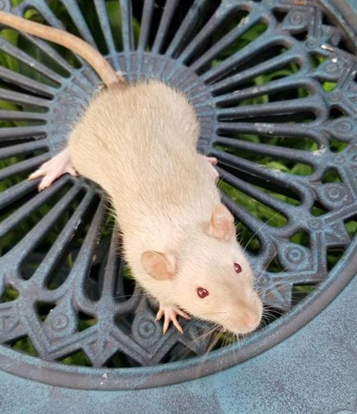 tonkinese frost rat