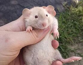#onceuponamischiefrattery #rat #rats #ra