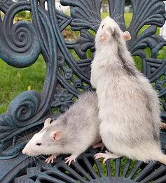 roan rat
