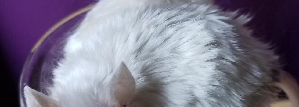 Texel Mice