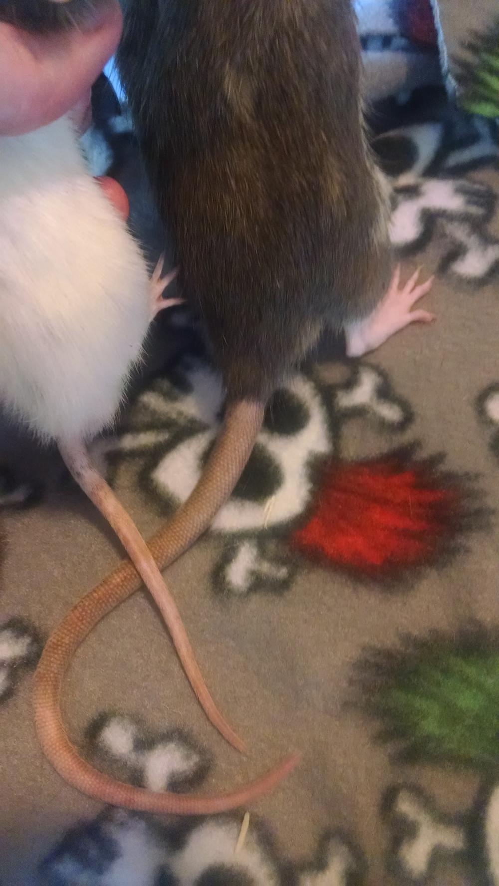 dwarf vs standard tail