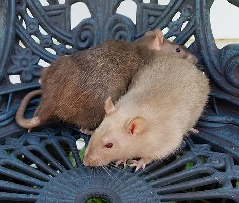 tonkinese rats