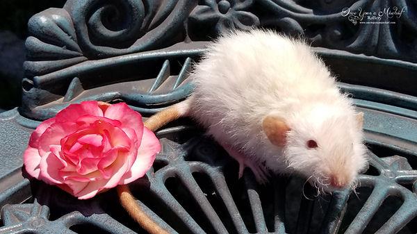 Siamse Harley Rat