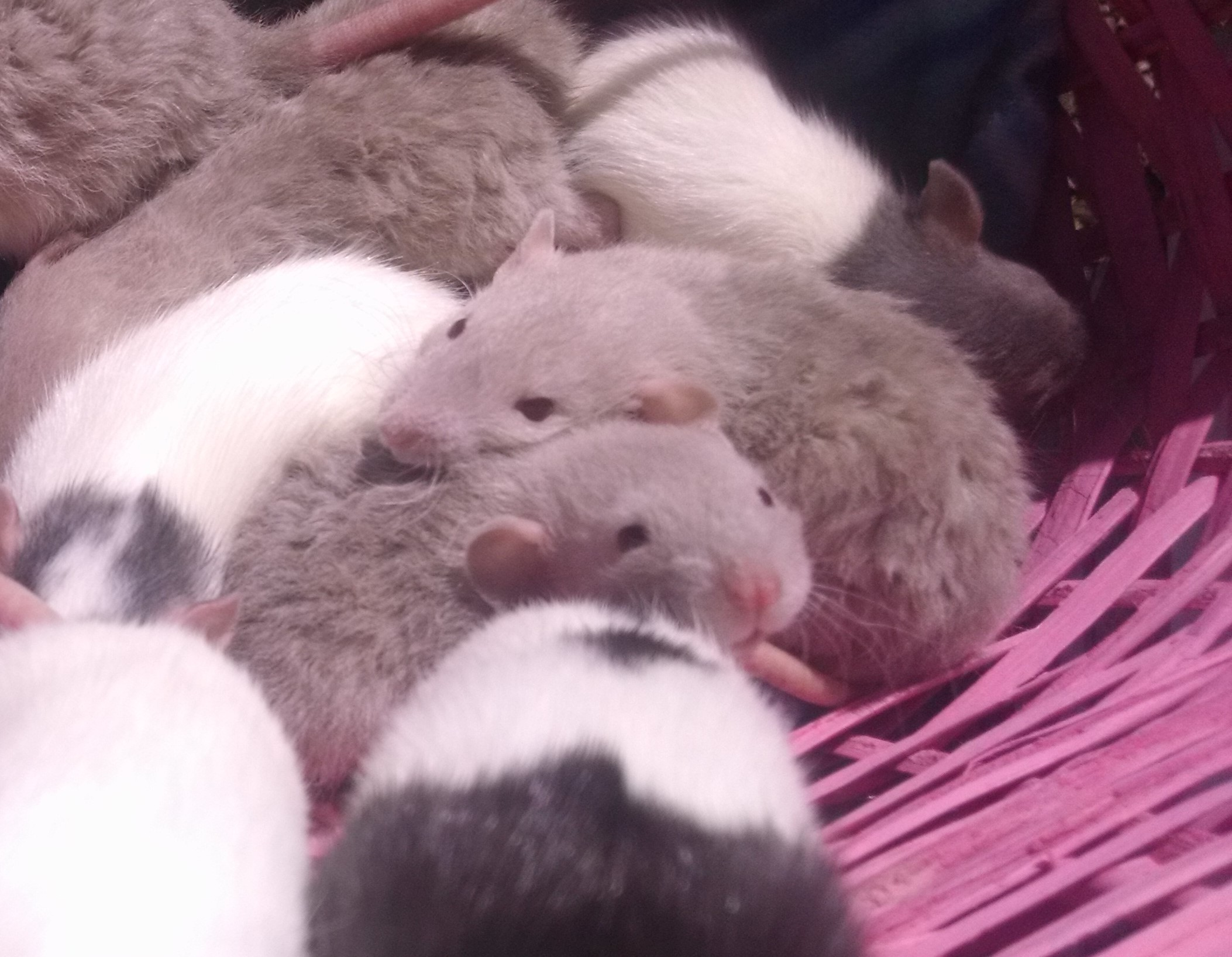 Siamese Rat