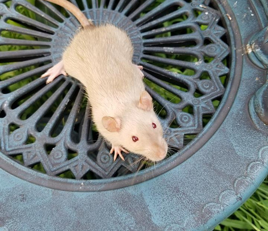 Rat | NY | Once Upon a Mischief Rattery