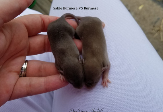 Sable & Burmese