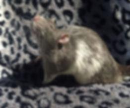 Russian Blue rat