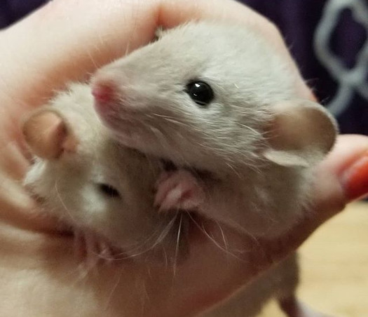 babies Siamese