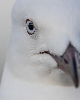 Serious Gull