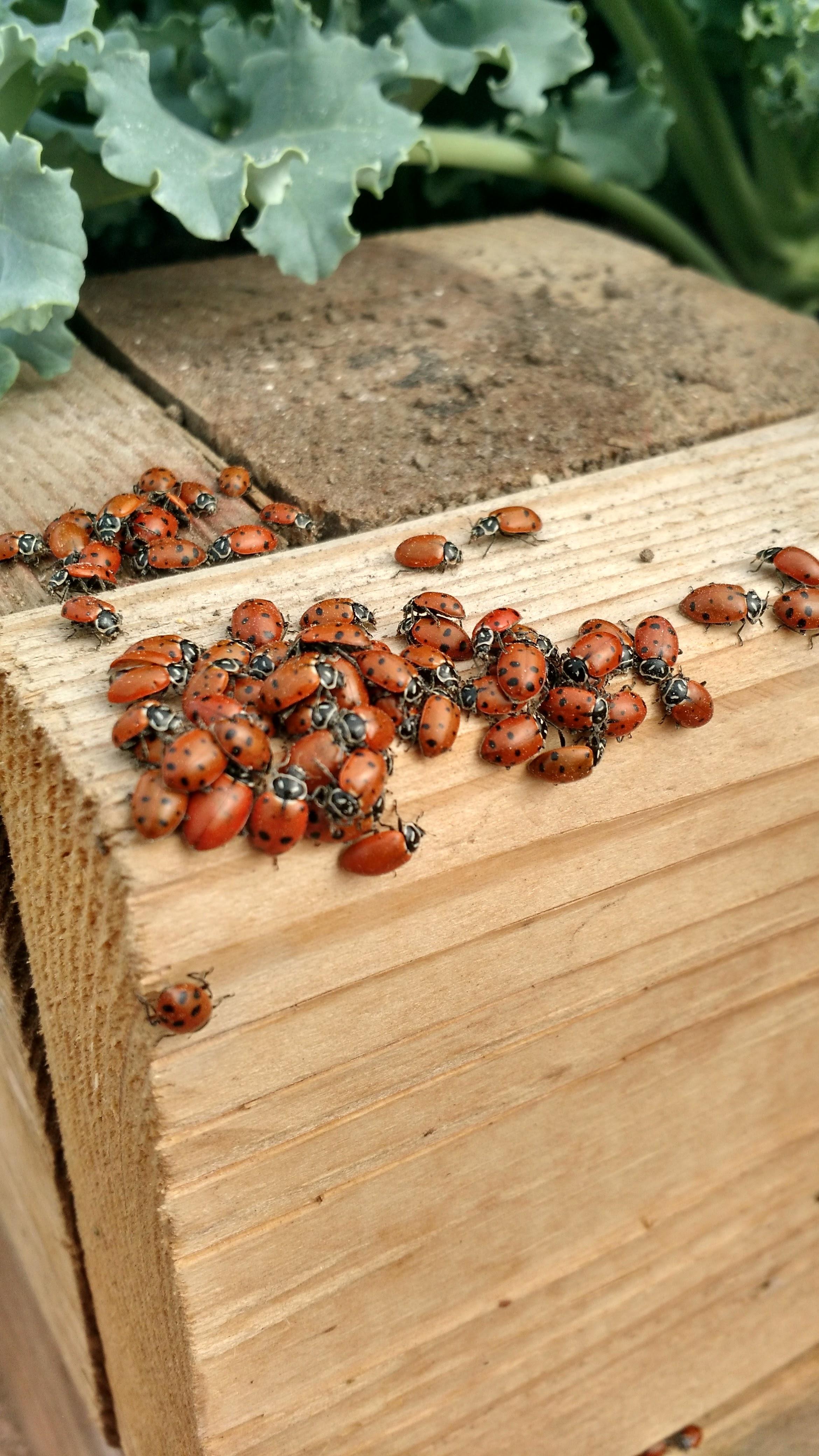 Desiderata Ranch Ladybugs