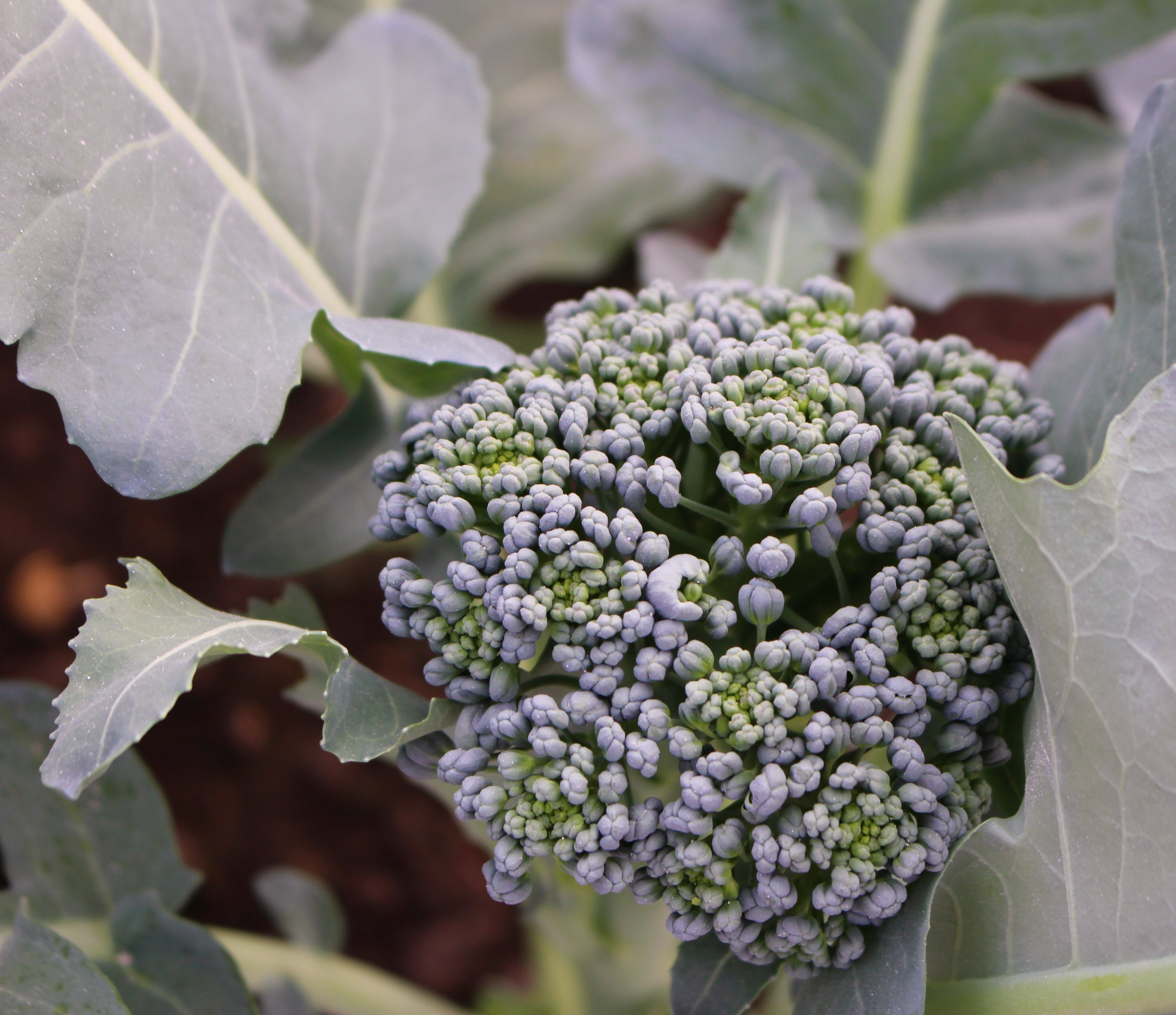 Desiderata Ranch Brocolli