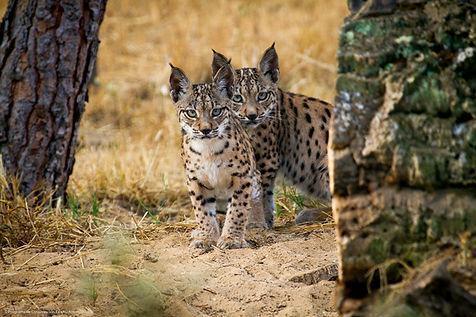 Lynx-wildlife-photography.jpg