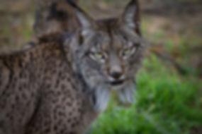 Lynx2.jpg
