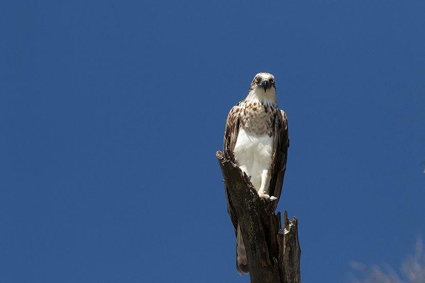 Osprey #16
