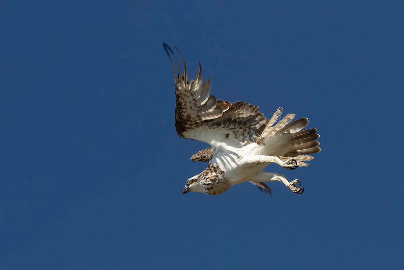 Osprey #25