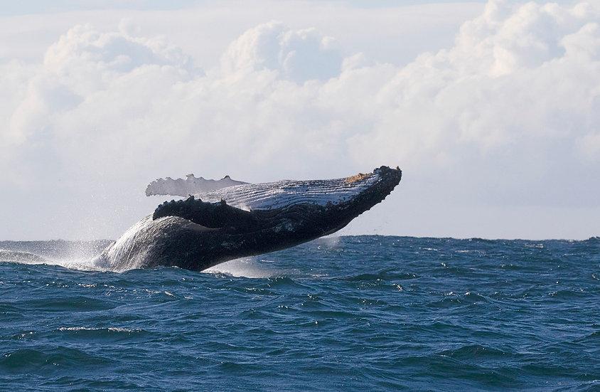 Whale # 12