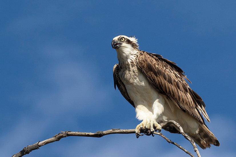 Osprey #3