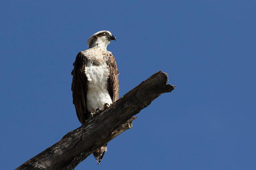 Osprey #37