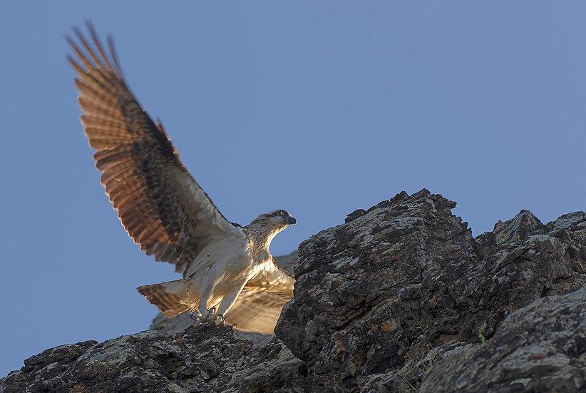 Osprey #20
