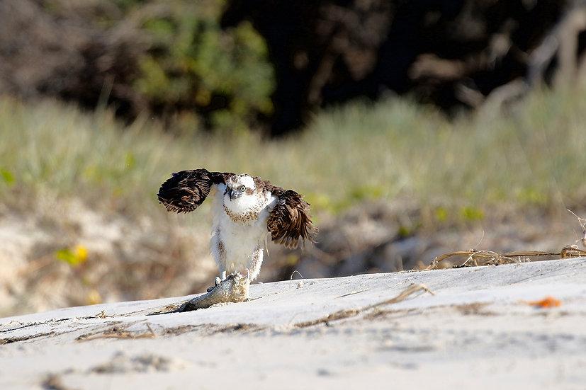 Osprey #63