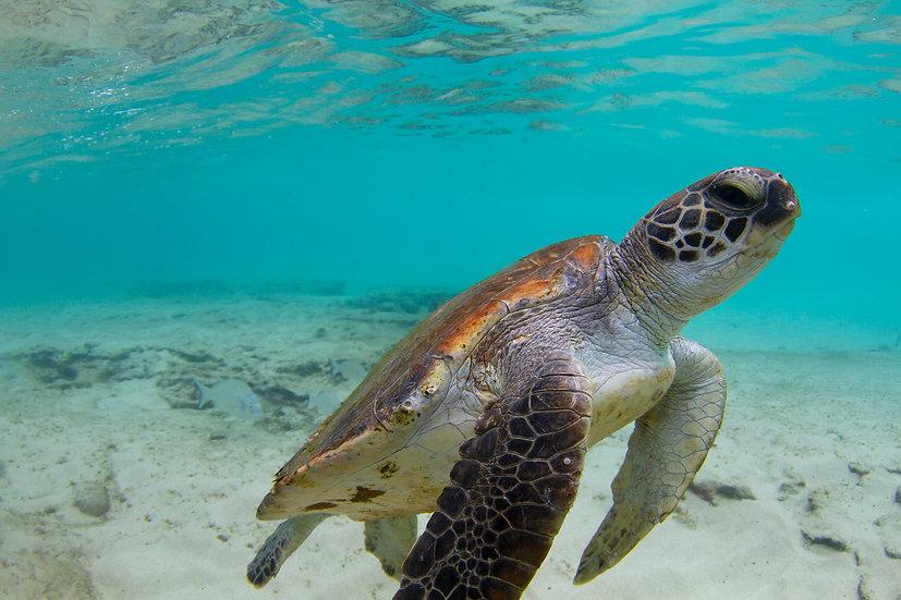 Turtle20
